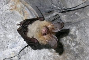 Plecotus sp