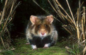 rs16503_hamster-vooraanzicht-hor-1-hugo-willocx-hpr